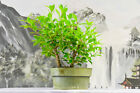 SALE Twin Trunks TIGER BARK FICUS Pre Bonsai tree Great for Beginners