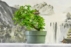 Nursery Grown FUKIEN TEA Pre Bonsai Tree Flowering  Fruiting