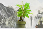 Alluring BULLHORN ACACIA Pre Bonsai Tree Lovely Compound Foliage Nice Nebari