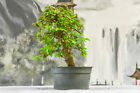 SHOHIN CHINESE ELM Pre Bonsai Tree with Fall Interest Cold Hardy