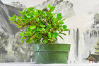 Stout GREEN ISLAND FICUS Pre Bonsai Tree with Aerial Roots Hardy Tropical tree