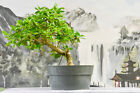Fabulous FICUS BURT DAVYI Pre Bonsai Great for beginners and Indoors