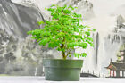 Beautiful BRAZILIAN RAINTREE Pre Bonsai Tree Large Trunk