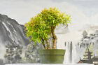 Triple Trunk on WILLOW LEAF FICUS Pre Bonsai Tree is Great for Beginners