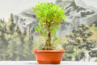 Mighty MELON SEED FICUS Bonsai Tree with Aerial Roots Dense Canopy
