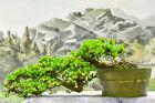 Charming Cascade FUKIEN TEA Pre Bonsai Tree