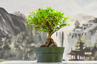 TIGER BARK FICUS Pre Bonsai Root Over Rock Gorgeous Spotted Bark