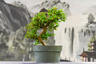Small Leaves on Nursery Grown FUKIEN TEA Pre Bonsai Tree Flowering