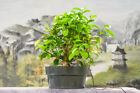 Aerial Roots on LIPSTICK FIG Pre Bonsai Tree Great for Banyan Bonsai