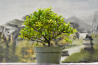 Cool CHINESE SWEET PLUM Pre Bonsai Tree Blooms Yellow Flowers