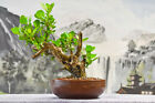 Bold BUTTONWOOD Bonsai Tree Deadwood for Carving In Japanese Pot