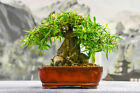 Stupendous SHOHIN WILLOW LEAF FICUS Bonsai Tree Great for Beginners