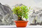 Worthy SHOHIN WILLOW LEAF FICUS Pre Bonsai Tree with tiny leaves