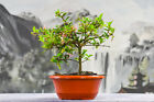 Vibrant DWARF BARBADOS CHERRY Pre Bonsai Tree Great SHOHIN Material