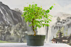 Bright BRAZILIAN RAINTREE Pre Bonsai Tree Compound Foliage