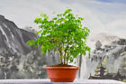 Pleasing BRAZILIAN RAINTREE Forest Pre Bonsai Tree Group Planting of FIVE