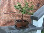 Cotoneaster Dammeri Bonsai Tree Live Plant Great shape 12