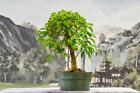 Aerial Roots on FICUS PHILIPPINENSIS Pre Bonsai Tree Great for Banyan Bonsai