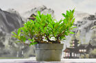 Large Caliper Rooted Cutting TIGER BARK FICUS Pre Bonsa Gorgeous Spotted Bark