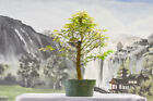 Terrific TROPICAL MAHOGANY Pre Bonsai Tree Produces Red Petioles on New Growth