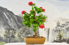 Gorgeous PINK PIXIE BOUGAINVILLEA Bonsai Flowers Year Round
