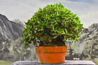 Gorgeous Root Over Rock GREEN ISLAND FICUS Pre Bonsai Tree with ornamental figs