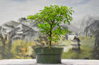 Pleasing BRAZILIAN RAINTREE Pre Bonsai Tree Compound foliage