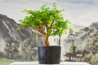 Large Trunk on JABOTICABA Pre Bonsai Tree Fruiting  Flowering Tropical Tree