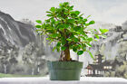 Stout GREEN ISLAND FICUS Pre Bonsai Tree with Aerial Roots Hardy Tropical