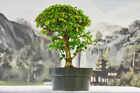Trident Shaped Leaves on PARROTS BEAK GMELINA Pre Bonsai Tree Dense Canopy