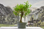 Hardy NARROW LEAF BUTTONWOOD Pre Bonsai Tree Tropical Favorite