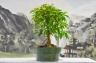 Fine FICUS PHILIPPINENSIS Pre Bonsai Tree Great for Banyan Bonsai
