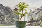 Delightful Branching DWARF BLACK OLIVE Pre Bonsai Tree Very Tiny Leaves