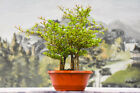 Full Forest Planting of 7 DWARF BLACK OLIVE Pre Bonsai Tree Very Tiny Leaves