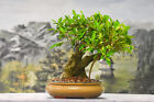 Gnarly Bark on TIGER BARK FICUS Bonsai Tropical Favorite Indoors or Outdside