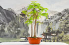 Lovely DAWN REDWOOD Forest of 4 Pre Bonsai Tree Bright Foliage