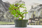 Fast Growing PREMNA Pre Bonsai Tree with Unique Movement Tropical Favorite