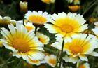 250 GARLAND DAISY SEEDS FLOWERS SEEDS PLANTS  EASY TO GROW FLOWERS PERENNIAL