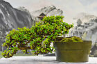 Cascade FUKIEN TEA Pre Bonsai Tree Delicate White Flowers Year Round