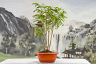 Lovely TROPICAL MAHOGANY Forest of 5 Pre Bonsai Tree