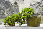 Pleasing Cascade FUKIEN TEA Pre Bonsai Tree Prolific Bloomer Great Movement