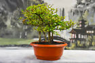 Full Forest Planting of 6 DWARF BLACK OLIVE Pre Bonsai Tree Very Tiny Leaves