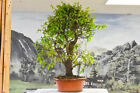 Lively LAUREL OAK Pre Bonsai Tree Bright foliage on new growth