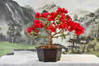 Appealing Red BOUGAINVILLEA Bonsai Flowers Year Round Tropical Tree