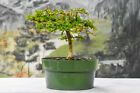 Delightful DWARF BLACK OLIVE Pre Bonsai Tree Very Tiny Leaves