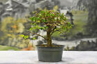 Stout SHOHIN CHINESE ELM Pre Bonsai Tree Cold Hardy Ships well Small leaves