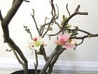Amazing contorta flowering Quince for unique shohin mame bonsai multiple listing