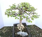 Fat Chinese Elm for mame shohin bonsai tree exposed roots