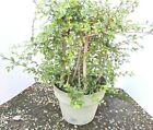 Chinese Elm forest for mame shohin bonsai tree grove style bonsai