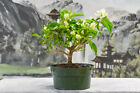 Miss Alice BOUGAINVILLEA Pre Bonsai Blooms Year Round Thorn less Variety